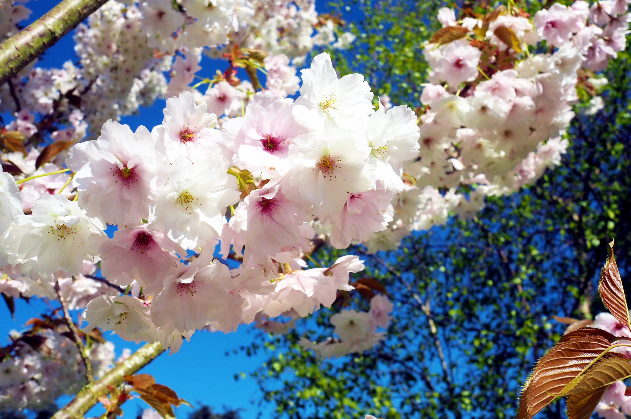 Mysundayphoto blossom trees life as our little family where we love that is lined with these beautiful trees they take my breath away and when combined with a gorgeous blue sky what is there not to love izmirmasajfo